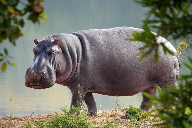N van Nijlpaard